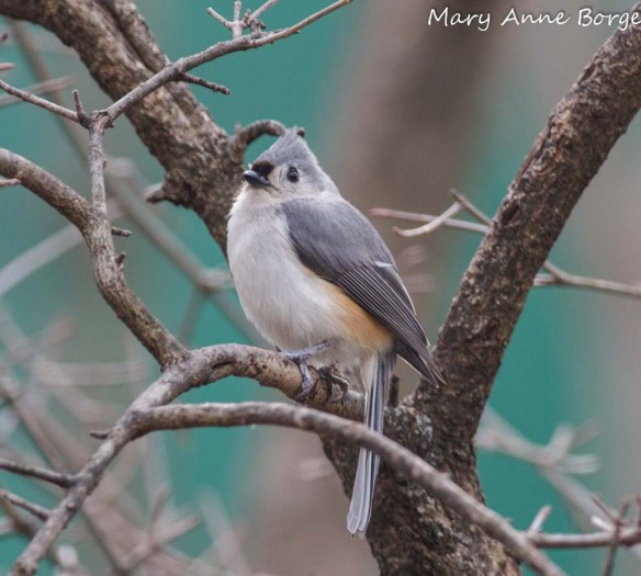 Tufted Titmouse in Blackhaw Viburnum (Viburnum prunifolium)