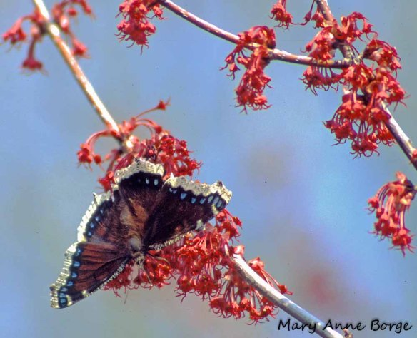 Mourning Cloak nectaring at Red Maple (Acer rubrum) blossoms