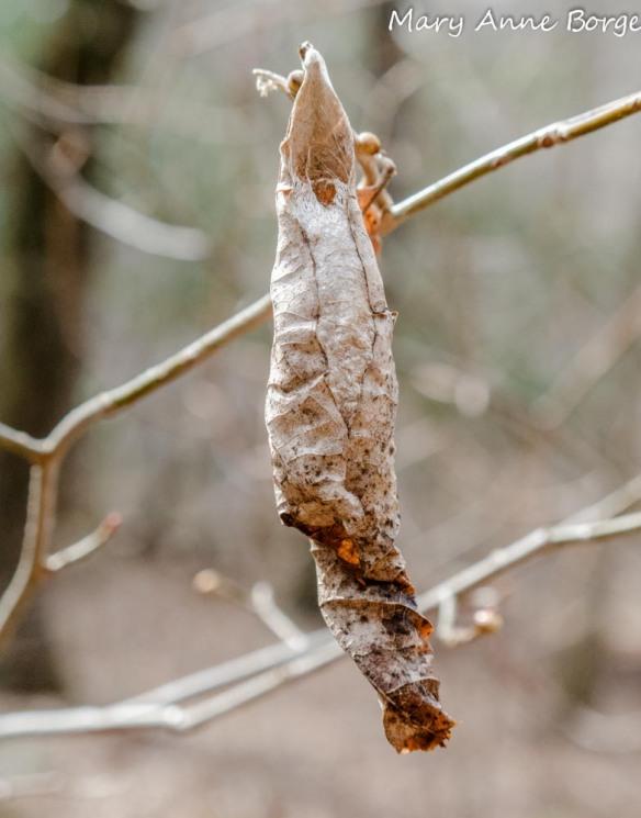 Promethea Moth (Callosamia promethea) Cocoon