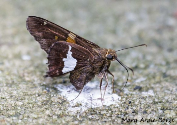 Silver-spotted Skipper getting minerals from bird droppings