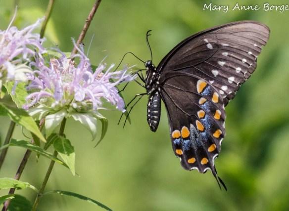 Spicebush Swallowtail nectoring on Wild Bergamot (Monarda fistulosa)