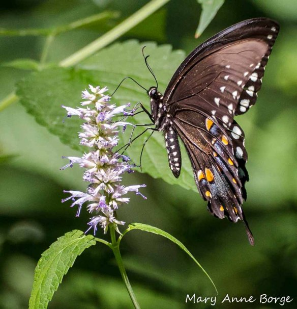 Spicebush Swallowtail with Purple Giant Hyssop (Agastache scrophulariifolia)