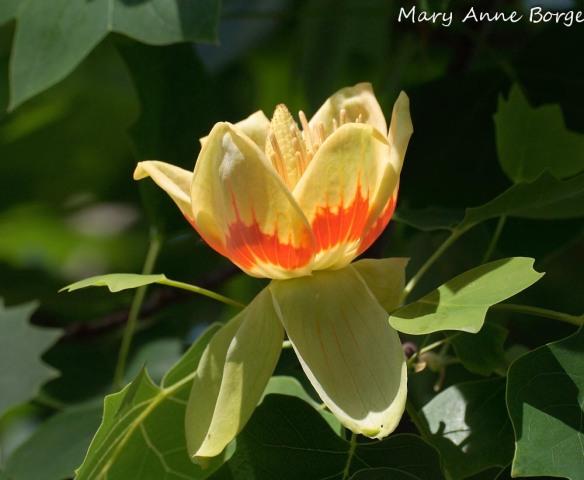 Tuliptree (Liriodendron tulipifera) blossom