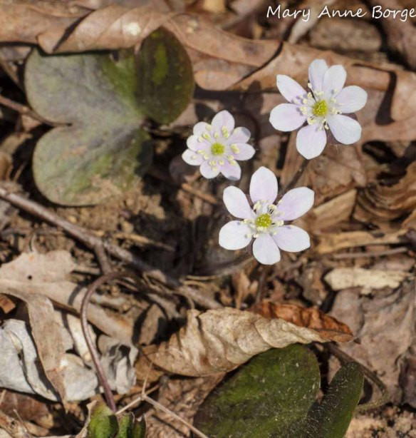 Round-lobed Hepatica (Hepatica Americana; synonym Anemone americana) with mottled leaves