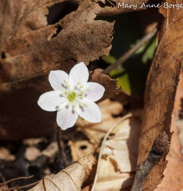 Round-lobed Hepatica (Hepatica Americana; synonym Anemone americana)