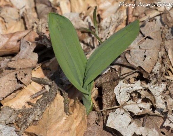 Wild Leek (Allium trioccum)