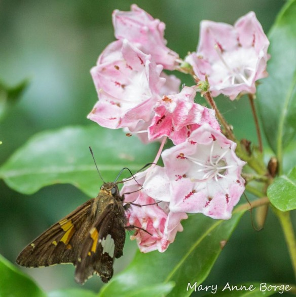 Silver-spotted Skipper nectaring on Mountain Laurel