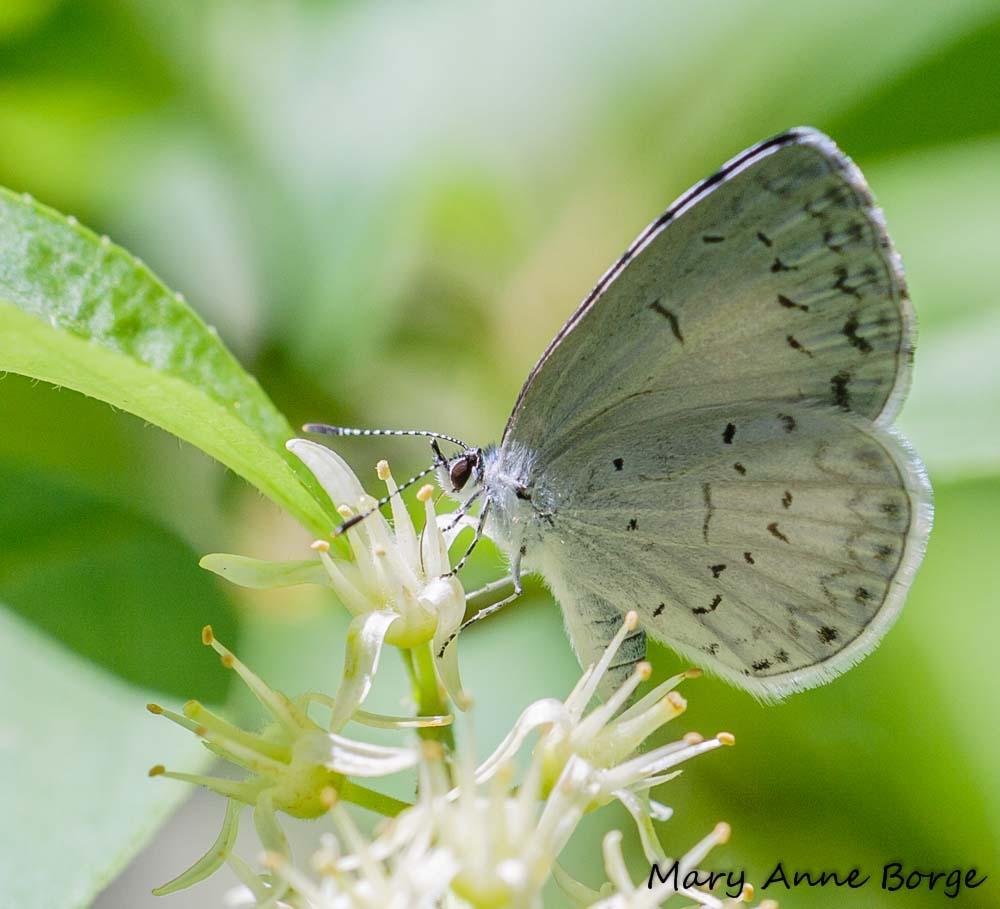 Spring Azure Nectaring On Virginia Sweetspire