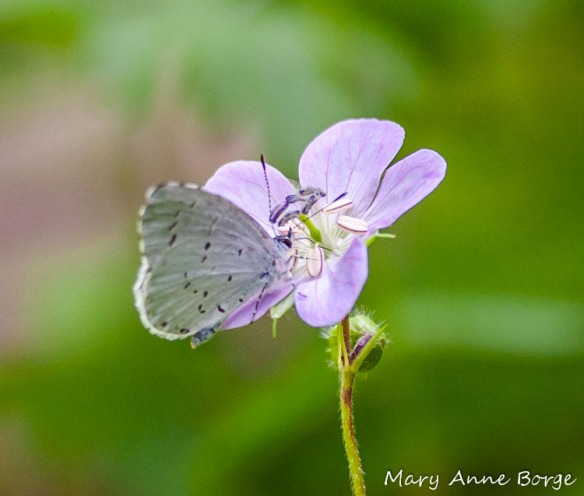Spring Azure nectaring on Spotted (or Wild)Geranium