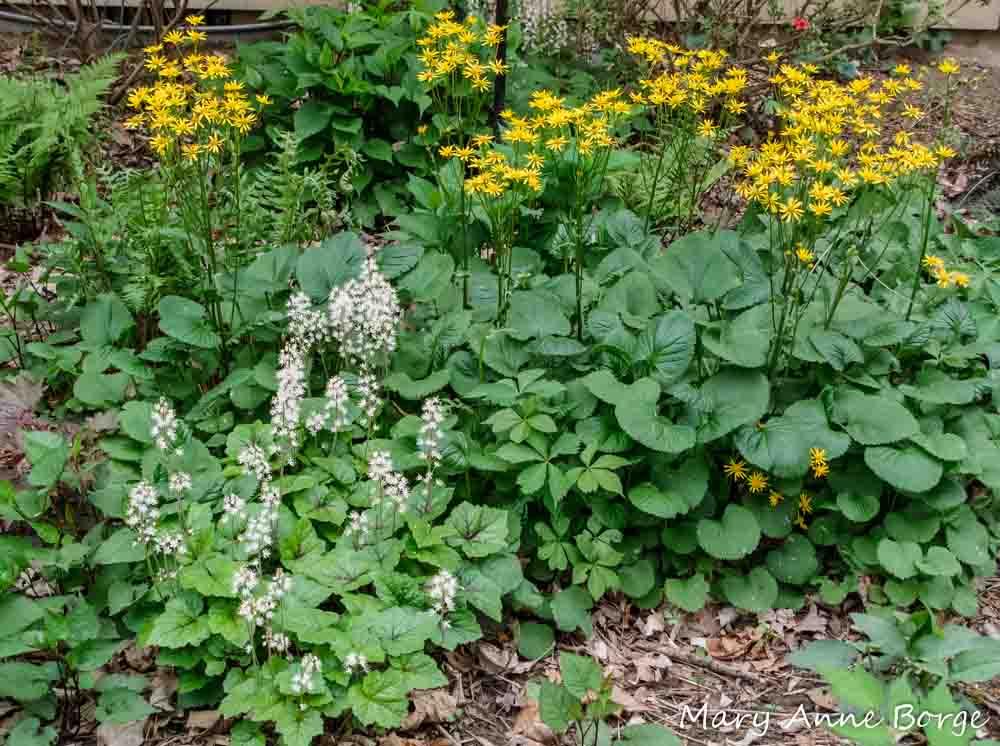 Spring Garden   Foamflower, Golden Ragwort, Virginia Creeper, Christmas Fern