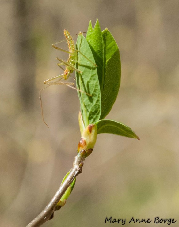 Emerging Sassafras (Sassafras albidum) leaves with bud scales at their base, accompanied by an assasin bug, Zelus luridus