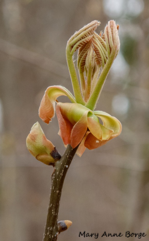 Emerging hickory leaves with bud scales at their base