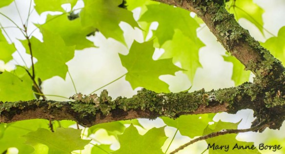 Lichen-covered maple branch, a good nesting site for a Ruby-throated Hummingbird