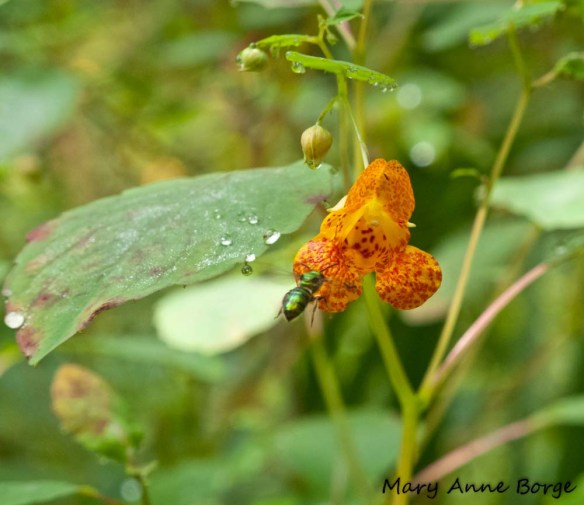 Jewelweed, or Spotted Touch-me-not (Impatiens capensis) with Sweat Bee
