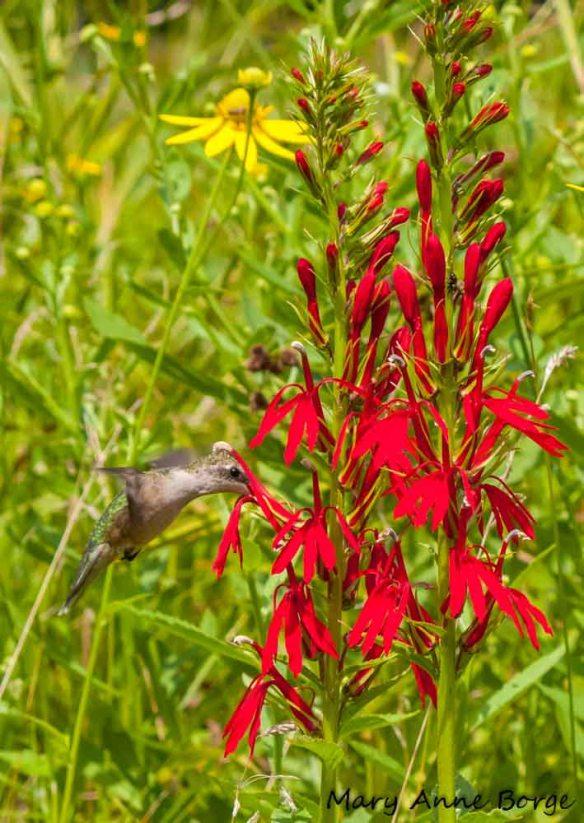 Ruby-throated Hummingbird with Cardinal-flower (Lobelia cardinalis)
