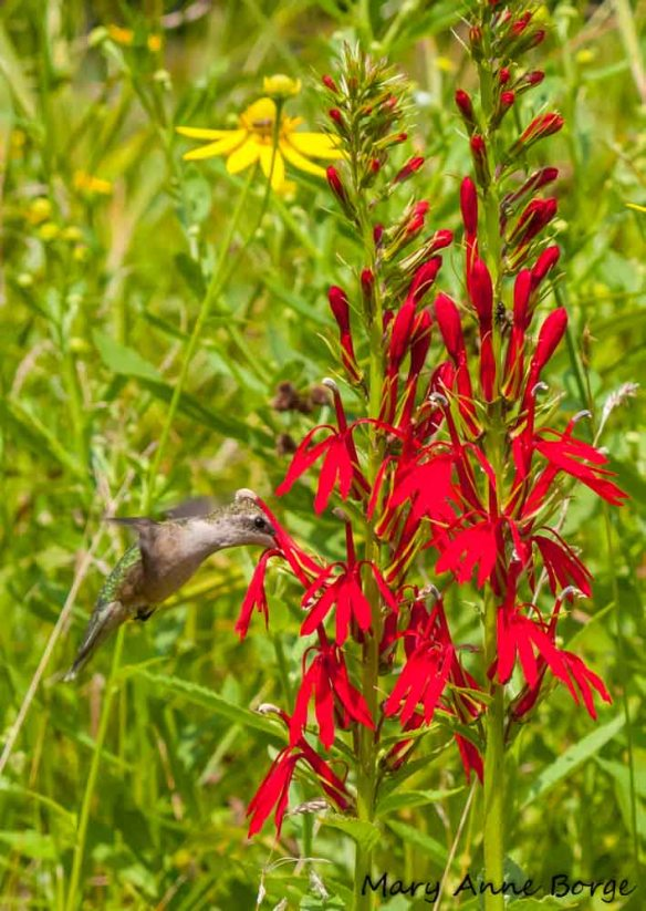 Ruby-throated Hummingbird with Cardinal-flower (Lobelia cardinalis)
