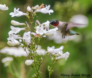 Ruby-throated Hummingbird with White Beardtongue (Penstemon digitalis)
