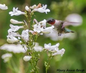 Ruby-throated Hummingbird with White Beardtongue (Penstemon digitalis)