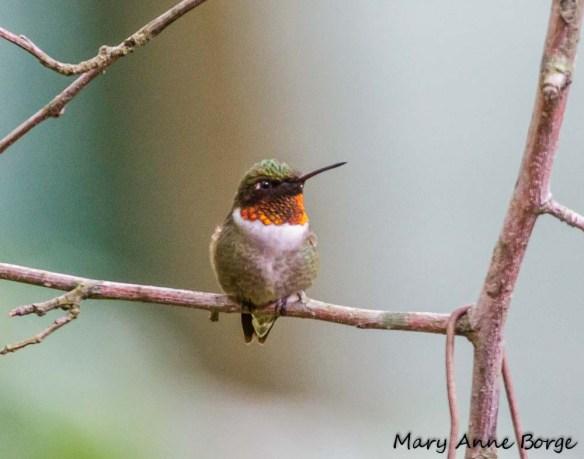 Ruby-throated_Hummingbird