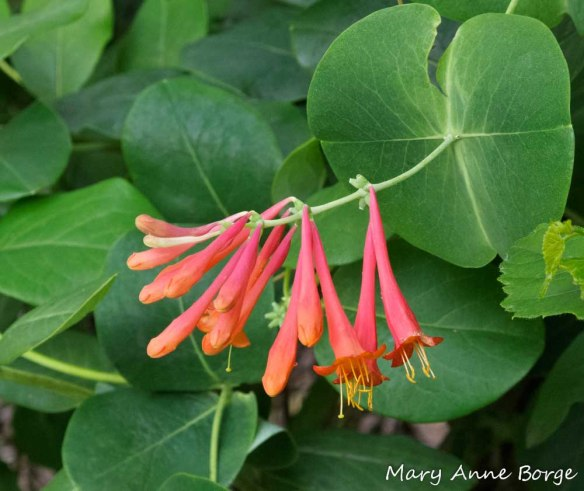 Trumpet Honeysuckle (Lonicera sempervirons) flowers