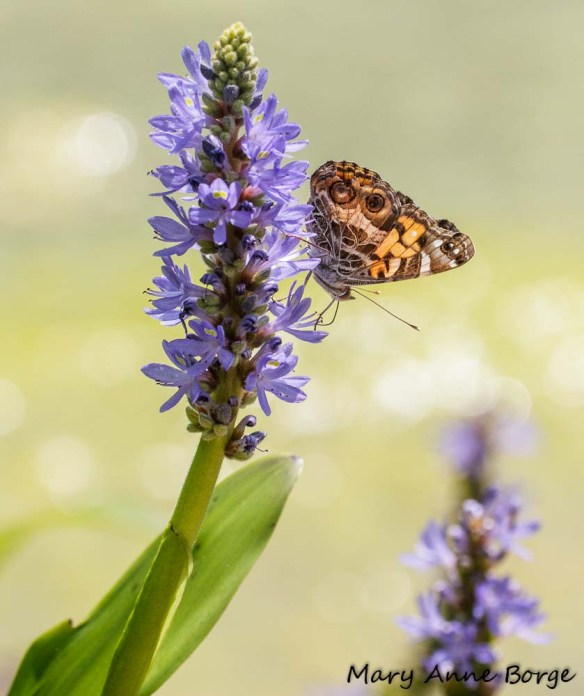 American Lady on Pickerelweed