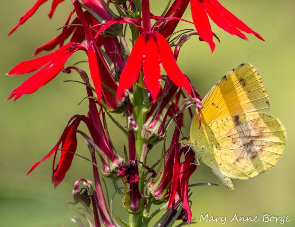 Sleepy Orange nectaring on Cardinal-flower (Lobelia cardinalis), 2012