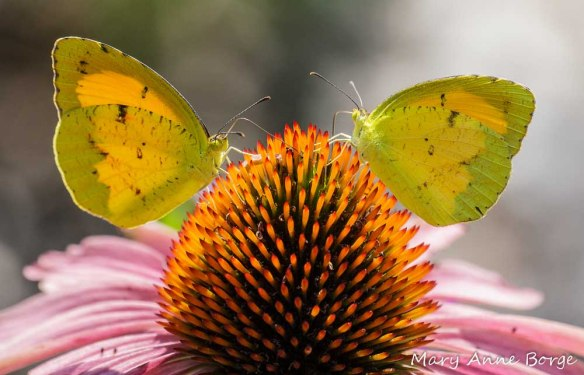 Sleepy Orange butterflies on Purple Coneflower (Echinacea purpurea)