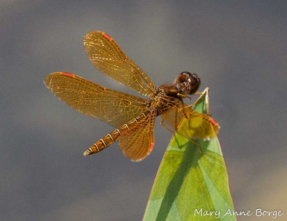 Male Eastern Amberwing, perching
