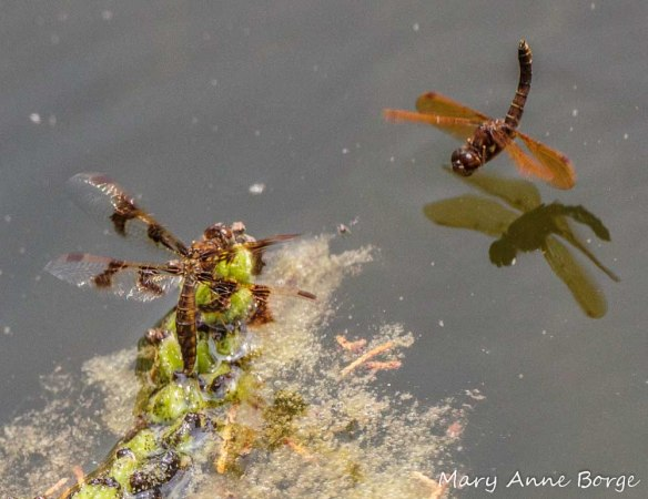 Female Eastern Amberwing laying  eggs (left) with male standing guard (right)