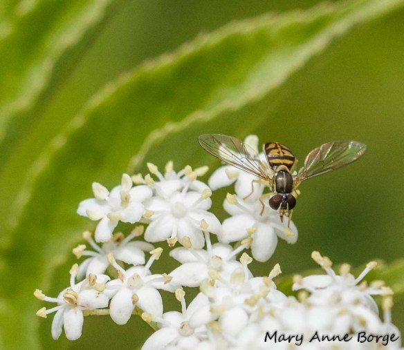 Hover or Flower Fly (Toxomerus marginatus)