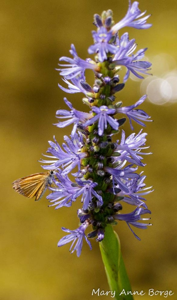 Least Skipper on Pickerelweed