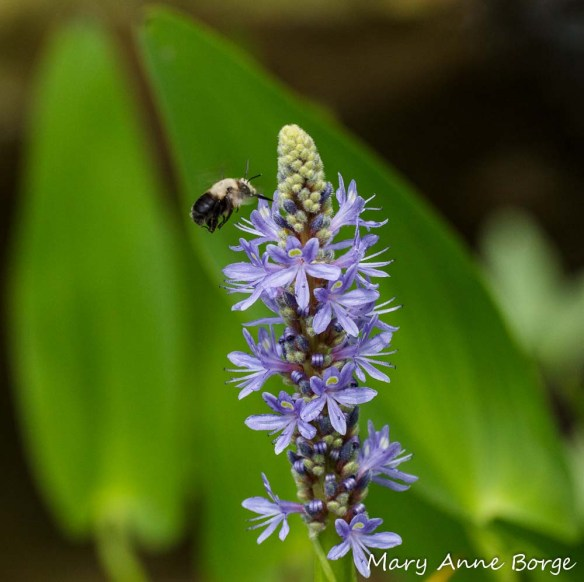 Pickerelweed with Bumble Bee