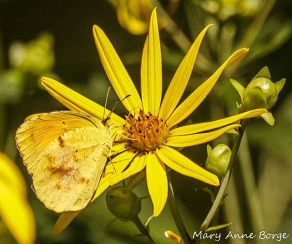 Female Sleepy Orange  on Tall Tickseed (Coreopsis triptera), 2013