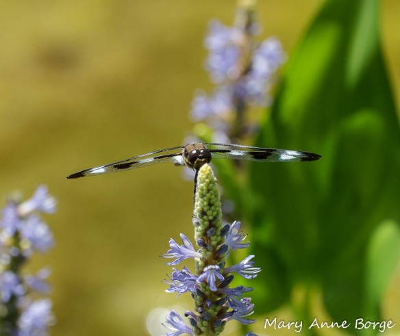Twelve-spotted Skimmer on Pickerelweed