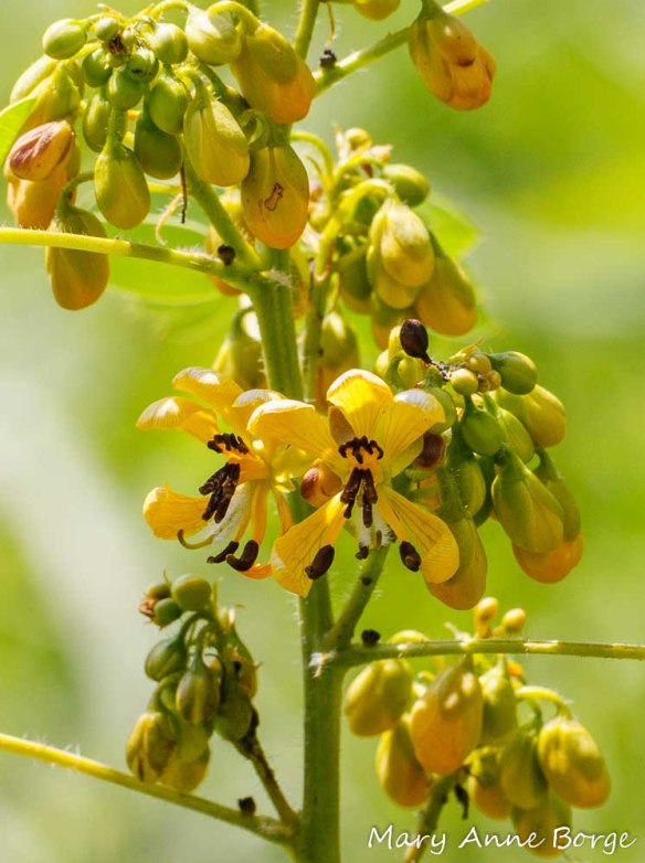 Wild Senna (Senna hebecarpa) flowers
