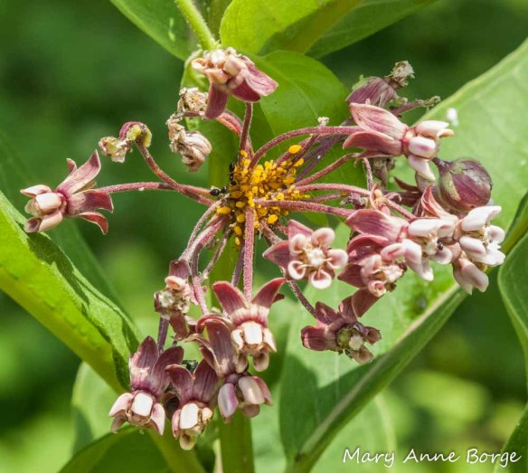 Ants tending aphids on Common Milkweed (Asclepias syriaca)