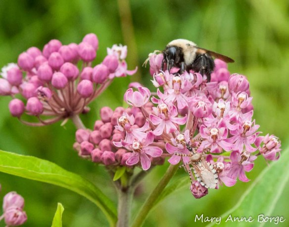 Assassin Bug (Pselliopus cinctus) and Bumble Bee on Swamp Milkweed (Asclepias incarnata)