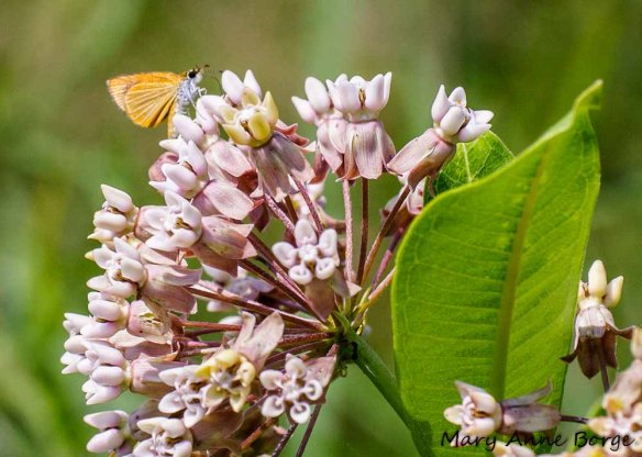 Least Skipper on Common Milkweed (Asclepias syriaca)