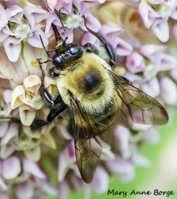 Bumble Bee with pollinia of Common Milkweed (Asclepias syriaca)