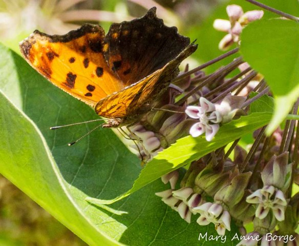 Eastern Comma on Common Milkweed (Asclepias syriaca)