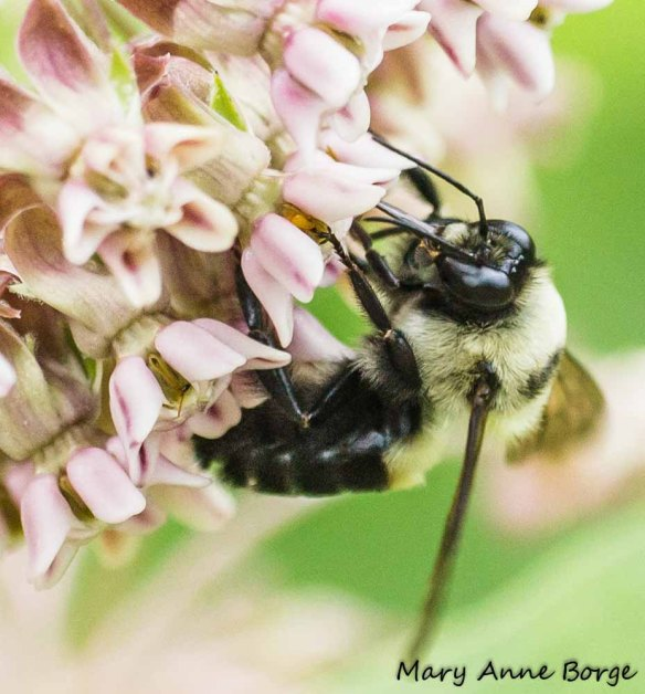 Bumble Bee engaging pollinia of Common Milkweed (Asclepias syriaca)