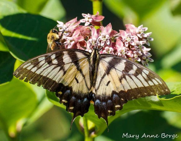 Eastern Tiger Swallowtail and Bumble Bee on Common Milkweed (Asclepias syriaca)