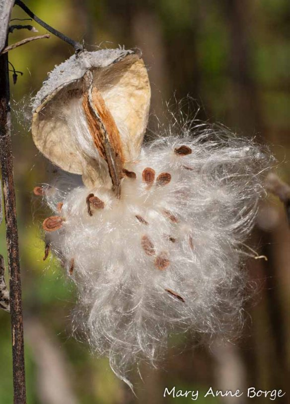 Common Milkweed (Asclepias syriaca) dispersing seeds