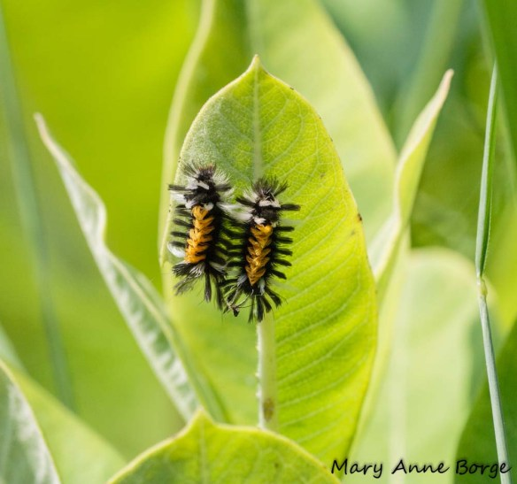 Milkweed Tussock Moth (Euchaetes egle) Caterpillers