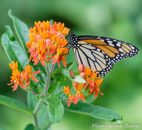 Monarch nectaring on Butterflyweed (Asclepias tuberosa)