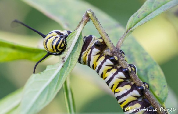 Monarch Caterpiller on Swamp Milkweed (Asclepias incarnata)