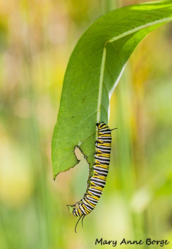 Monarch Caterpiller on Common Milkweed (Asclepias syriaca)