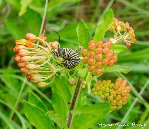 Butterflyweed (Asclepias tuberosa) with Monarch Caterpiller