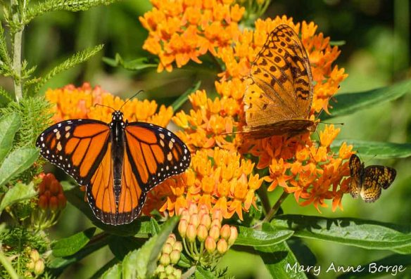Butterflyweed with Monarch, Great Spangled Fritillary, and Pearl Crescent