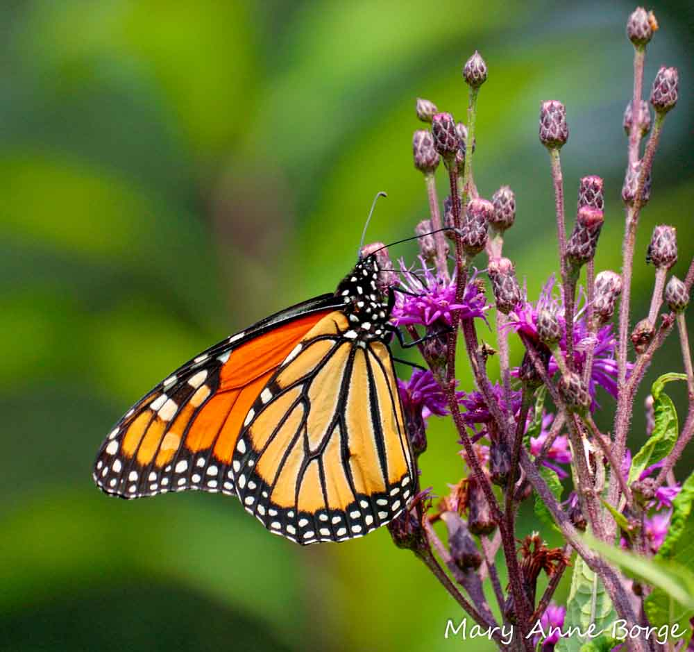 monarch butterfly and milkweed relationship goals